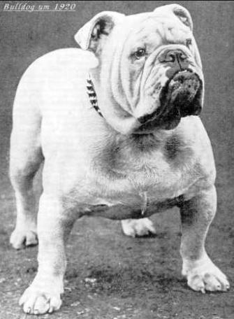 1920bulldog